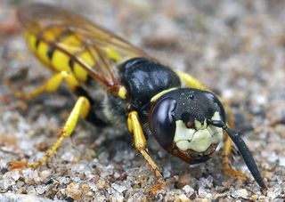 Bee wolf wasp ~ philanthus triangulum
