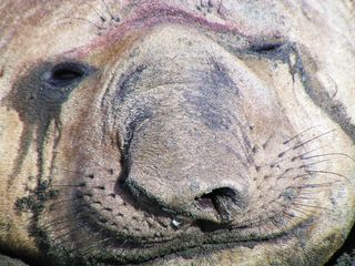Face of elephant seal