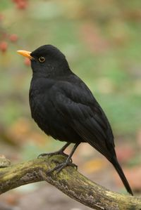 Blackbird ~ turdus merula