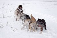 Chukchi dog team