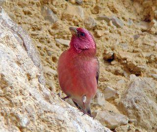 Sinai rosefinch
