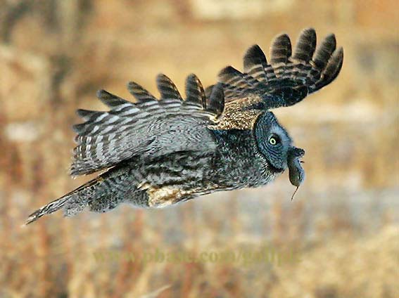 Great gray owl  and mouse from PBase