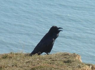 Raven on the cliffs near Stonebarrow hill