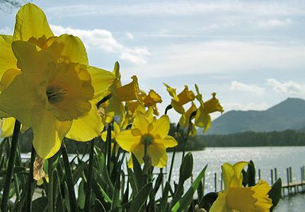 Daffodils, derwentwater