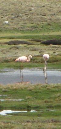 Chilean flamingos on the Peruvian altiplano
