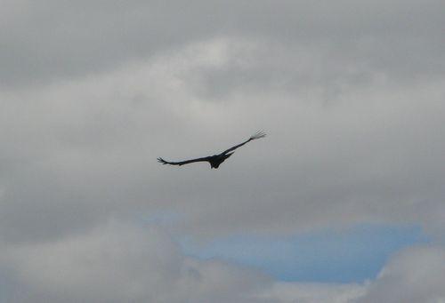 Condor, Colca valley