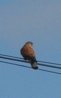 Kestrel on telegraph wire