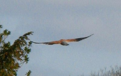 Kestrel flying away