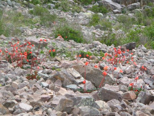 Flowers of Peru (3)