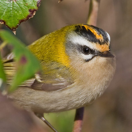Firecrest by Garth Peacock
