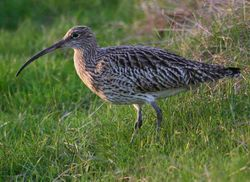 Curlew by Jill Pakenham of BTO
