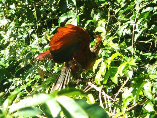 Hoatzin, Peruvian Amazon
