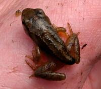 Tiny_frog