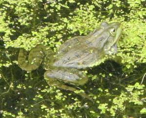 Marsh_frog_2