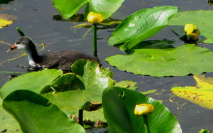 Young_coot_and_yellow_lilies