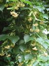 Tilia_spp_foliage