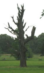 Dead_tree_syon