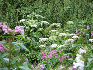 Umbellifers_and_willowherb