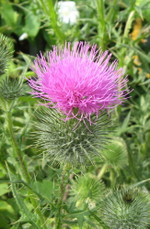 Spear_thistle