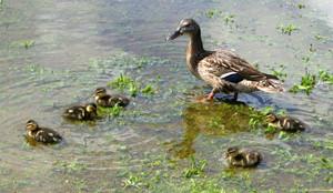 Mallard_family