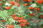 Rowan_berries