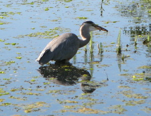 Heron_fishing