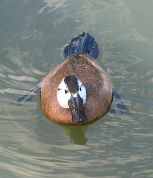White_headed_duck