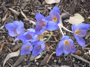 Autumn_crocus_kew