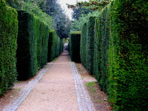 Yew_hedges_chiswick_2