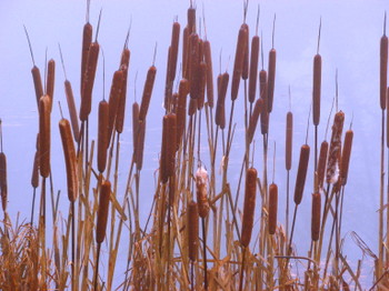 Reedmace_in_winter