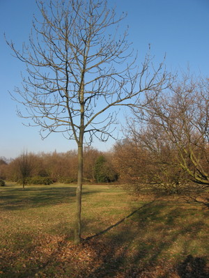Tooting_bec_common