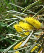 Acacia_aneura_blossom_mulga