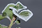 Frosty_leaf