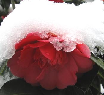 Camellia_snow