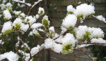 Snow_fothergilla_buds