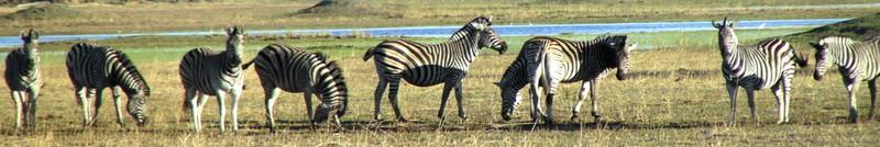 Zebra_in_okavango_2